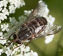 Is this S. rasa? - Stonemyia rasa - female