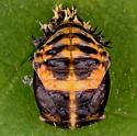 Asian Lady Beetle, pupa - Harmonia axyridis