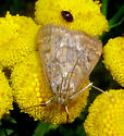 Moth 20 - Achyra rantalis