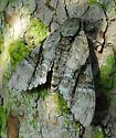 Moth - Manduca jasminearum