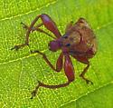 ATTELABIDAE Attelabinae: Himatolabus pubescens - Himatolabus pubescens