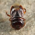 Burrowing Bug - Amnestus pallidus