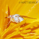 Small White Fly - Poecilognathus