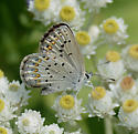 Lycaeides species? - Plebejus anna - female