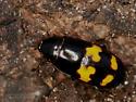 Unknown - Glischrochilus fasciatus