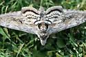 sphinx moth - Manduca quinquemaculatus