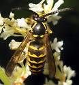 Common Aerial Yellowjacket - Dolichovespula arenaria - male
