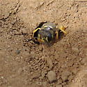 Green-eyed Wasp w/ Root - Philanthus