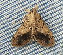 Moth - Asciodes gordialis