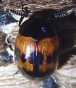black and yellow beetle - Diaperis nigronotata