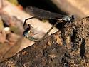 damsel mating - Argia apicalis