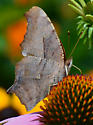 Polygonia interrogationis? - Polygonia interrogationis