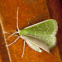 Southern Emerald Moth - Hodges #7059 - Synchlora frondaria - female