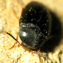 Small Hairy Beetle - Eustrophopsis bicolor