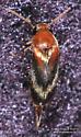 Mordellidae - Glipostenoda ambusta