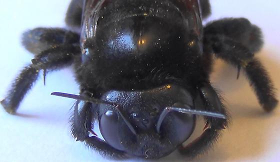 Mrs. Neoxylocopa (dorsal head) - Xylocopa varipuncta - female
