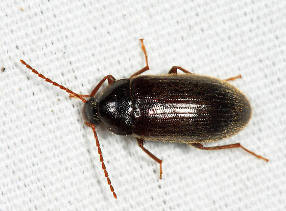 Mycetochara? - Hymenorus