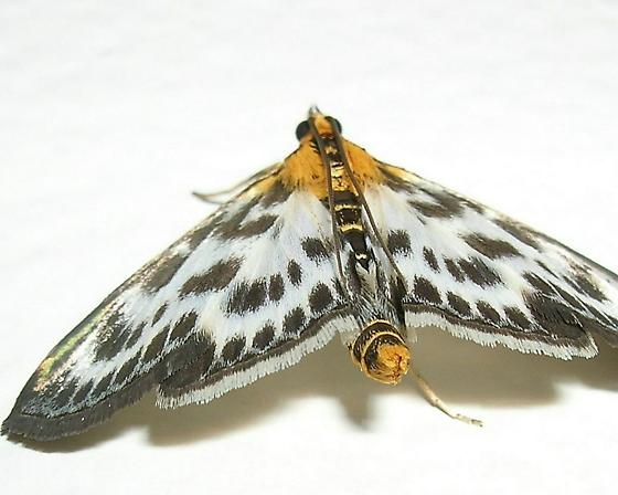 Spotted Moth - Anania hortulata