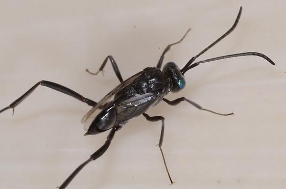Black wasp with iridescent eyes - Evania appendigaster