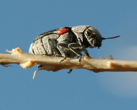 Small Gray-Black Beetle - Coleorozena