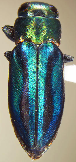 Chrysobothris purpureovittata  - Chrysobothris purpureovittata