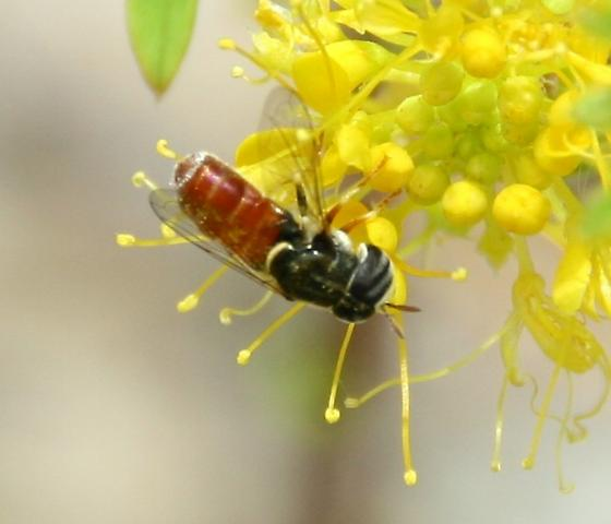 Syrphidae possibly w red abdomen - Paragus