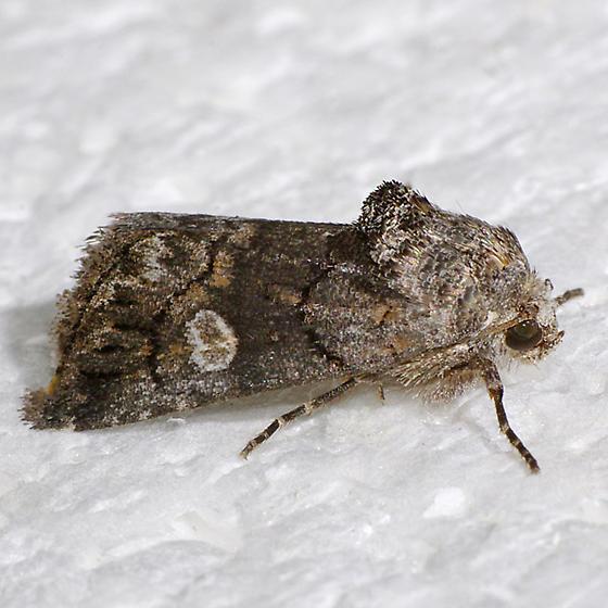 Hexorthodes serrata - Copanarta aurea