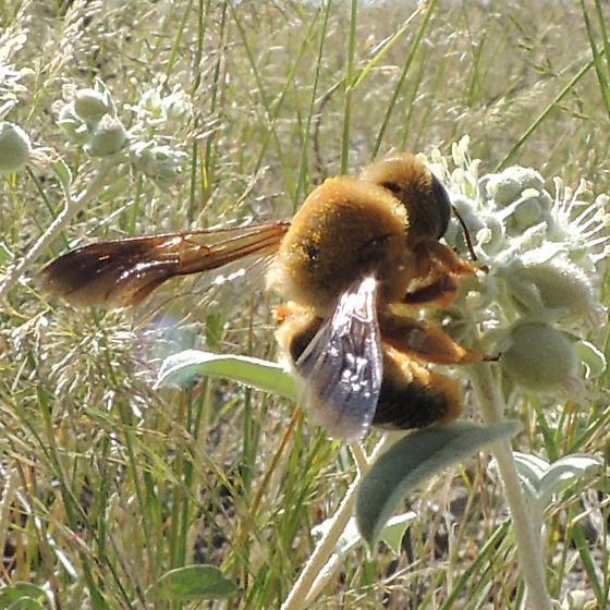 unkn bee - Protoxaea gloriosa