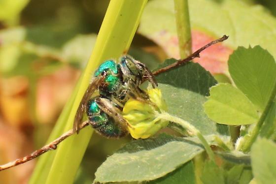 Gren Sweat bee - Augochloropsis