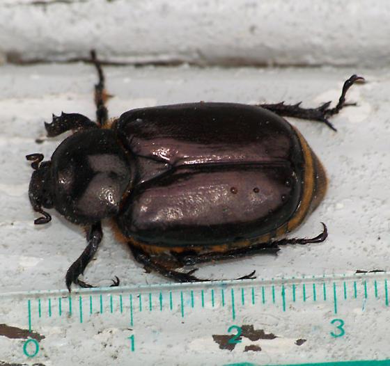 Beetle - Osmoderma eremicola
