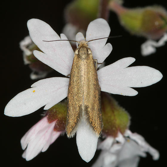 gray moths on Lithophragma parviflora - Greya politella