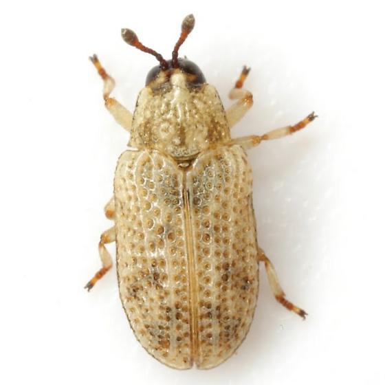 Stenopodius texanus Schaeffer - Stenopodius texanus