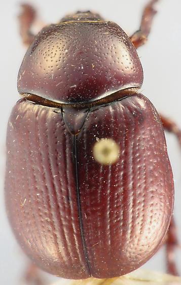 scarab - Aphonus