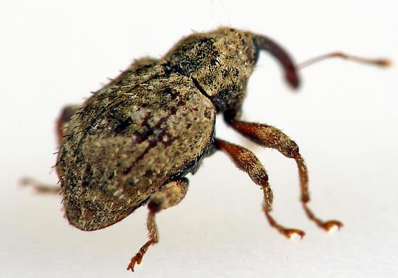 Weevil - Pheloconus hispidus