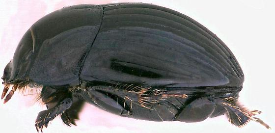 Ateuchus lecontei - Ateuchus