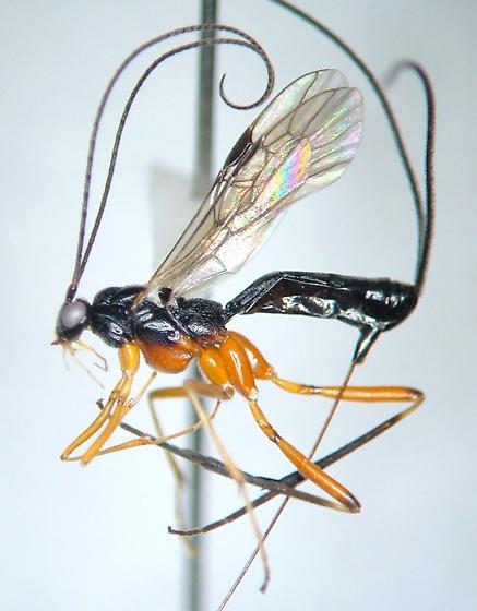 Macrocentrus aegeriae - female