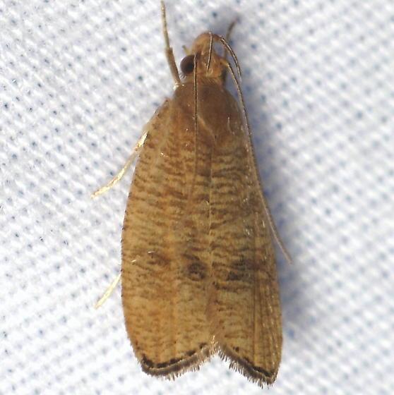 Unid. Psilocorsis - Psilocorsis cryptolechiella