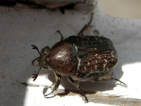 Beetle with interesting antennae - Euphoria sepulcralis