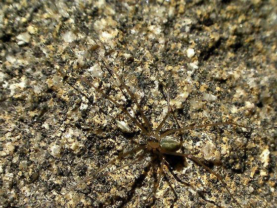 Wenatchee Spider
