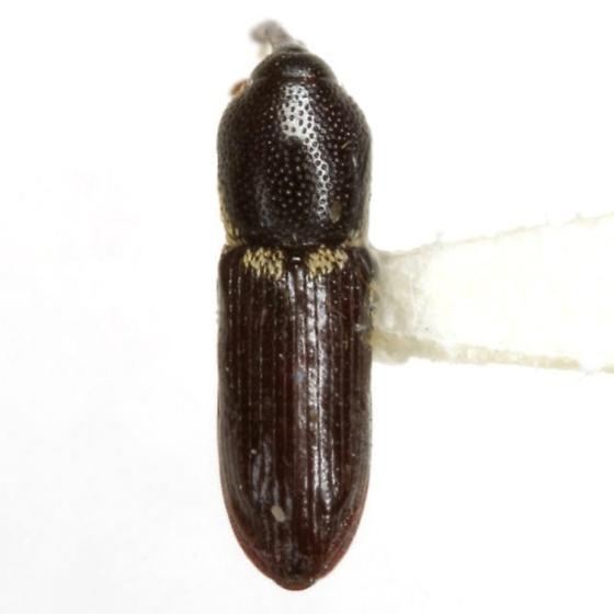 Lipancylus cracens Prena - Lipancylus cracens - male