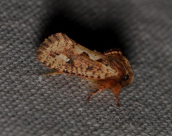 Acrolophus sp.?? - Acrolophus walsinghami
