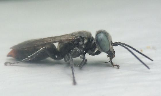 Wasp - Tachysphex