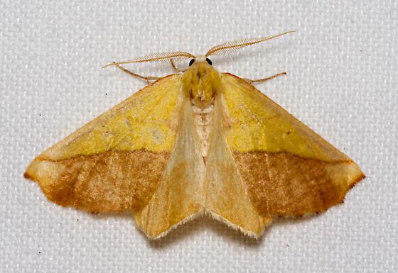 Sicya crocearia