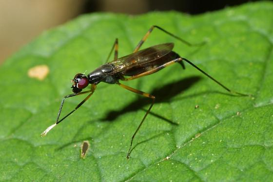 Stilt-legged Fly - Rainieria antennaepes - female