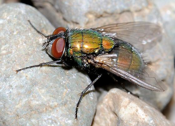 Fly with green body and red eyes. - Lucilia sericata - male