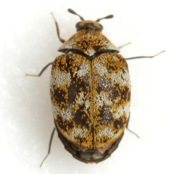 Anthrenus verbasci (Linnaeus) - Anthrenus verbasci