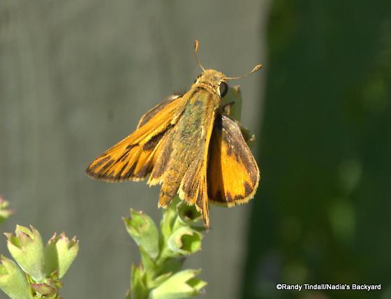 Fiery Skipper (Hylephila phyleus)? - Hylephila phyleus - male