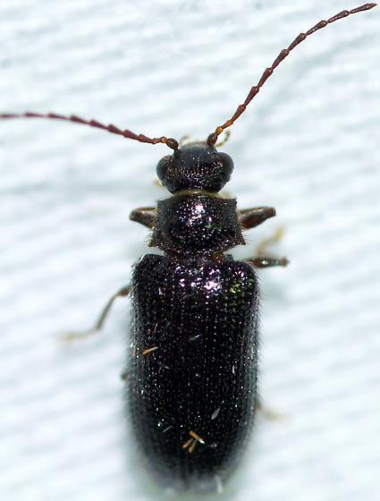 Unknown Beetle - Eurypogon niger