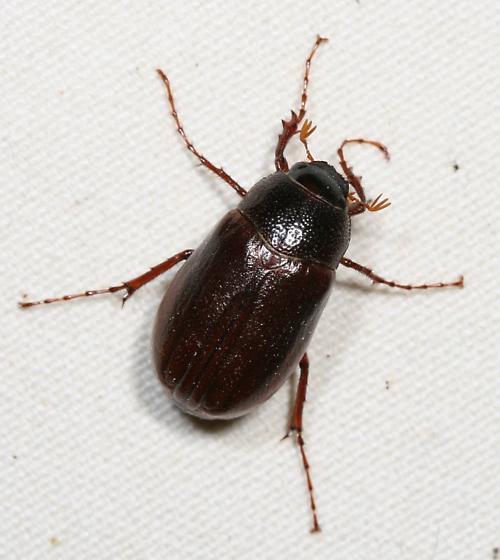 Beetle help - Phyllophaga