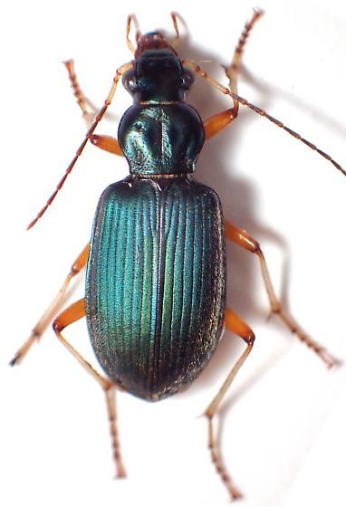 surprisingly not smelly - Chlaenius leucoscelis